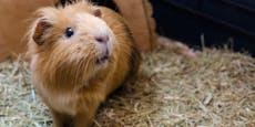 Wie kommt ein Meerschweinchen in die Regenrinne?