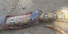 Nicht für schwache Nerven: Kobra frisst 3-Meter-Python