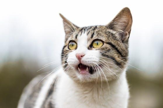 Nach einem enthaupteten Hasen wurde auch eine geköpfte Katze gefunden.