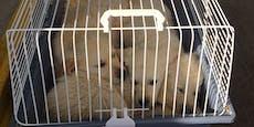 3 Welpen in Hasenkäfig nach Österreich geschmuggelt