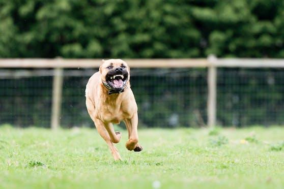 Ein Hund fletscht beim Laufen seine Zähne. (Symbolbild)