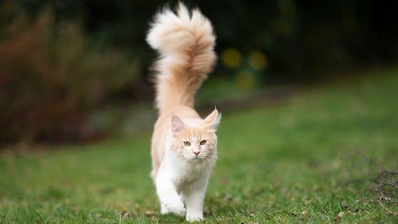 """Nö. So wunderschön buschig, sieht der """"Fettschwanz"""" bei Katzen leider nicht aus."""