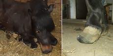 Burgenland: Vernachlässigte Pferde aus Horrorstall