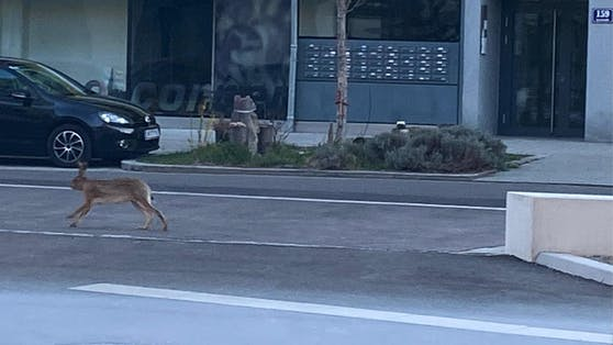 Dieser Hase war am Mittwochmorgen im 2. Bezirk unterwegs.