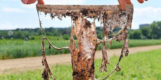 Eine Unterhose, die zwei Monate unter der Erde war auf dem Gelände von Agroscope in Zürich (Schweiz)
