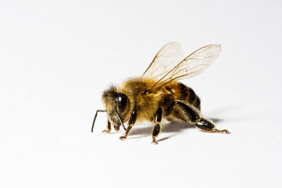 Bienen können so viel mehr, als nur Pollen zu sammeln. (Symbolbild)