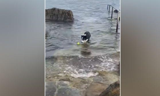 """Border Collie Hündin """"Lucy"""" liebt ihren gelben Tennisball und spielt mit ihm täglich im Meer."""