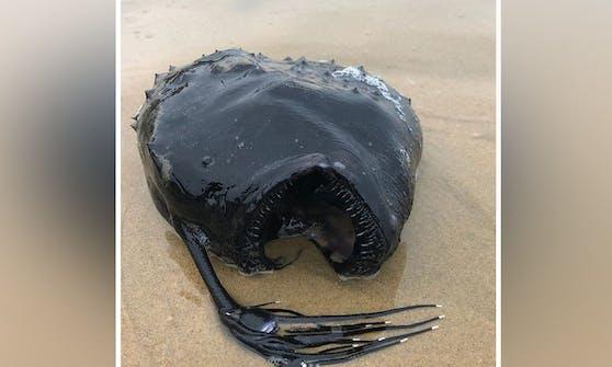 """Dieser """"Seeteufel"""" - genauer, """"pazifische Fussballfisch"""" wurde an der Küste Kaliforniens angespült"""