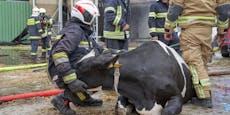 150 Rinder aus brennendem Stall gerettet