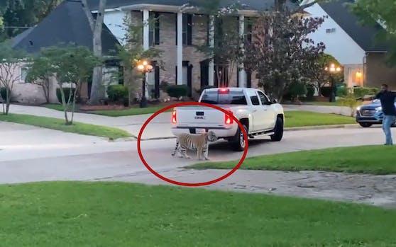 Ich glaub, ich steh im... Dschungel? In einem kleinen Vorort von Houston (Texas) war ein Tiger entlaufen.
