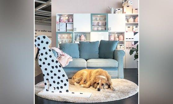 Rührend! Aufgrund der heftigen Unwetter in Catania (Italien) durften Straßenhunde im Möbelhaus IKEA Unterschlupf suchen.