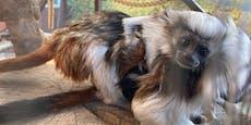 Illegaler Handel mit Affenbabys in Stuttgart aufgedeckt
