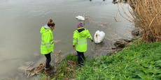 Wegen Hochwasser: Schwanen-Nest in Linz umgesiedelt