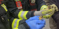 Wiener Feuerwehr musste 12 verirrte Entenküken retten