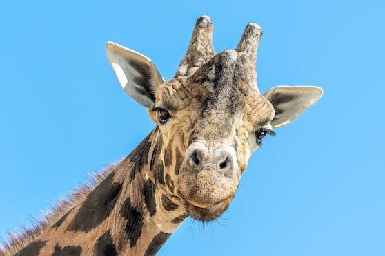 """Giraffenbulle """"Kimbar"""" musste eingeschläfert werden."""