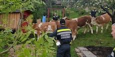 Acht Kühe büxten von Weide aus, tauchten in Garten auf