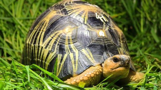 Strahlenschildkröten können in 40 Jahren ausgestorben sein.