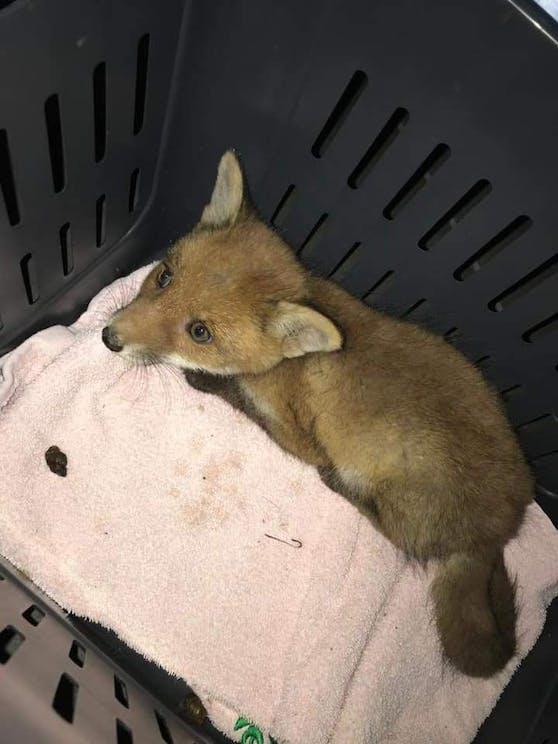 Drama um Fuchsbaby: Es konnte gerettet werden.