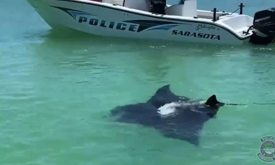 Was für ein Anblick. Ein riesiger Manta-Rochen hatte sich an die Küste Floridas verirrt.