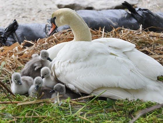 Die Schwan-Babys sind nun am Ufer der Donau in Linz geschlüpft.