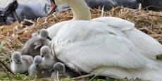 Schwantastisch: Linzer Babyvögel jetzt geschlüpft