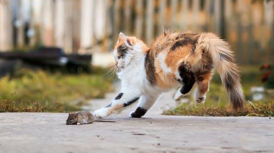 """Tja, """"Tom & Jerry"""" gibt es wirklich und die Katze folgt ihrem Jagdtrieb."""