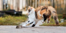Kann ich meiner Katze die Mäusejagd abgewöhnen?