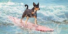 Nichtschwimmer - Diese Hunde gehen unter wie ein Stein!