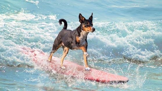 Falsch! Nicht jeder Hund ist eine Wasserratte und manche gehen sogar unter wie ein Stein.