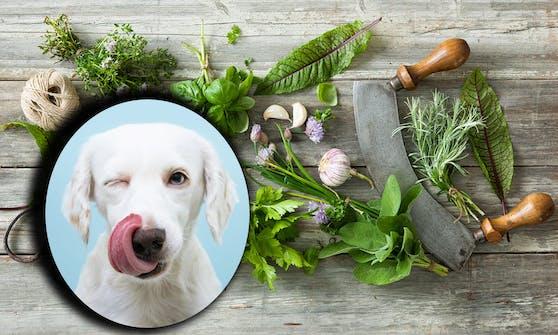 Machen wir einen kleinen Ausflug in die Küche. Welche Kräuter sind denn gut für meinen Hund und welche sogar giftig?