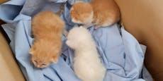 Drei Babykatzen in einem Plastiksack in Horn ausgesetzt