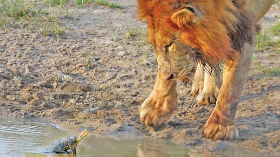 Dieser Löwe lässt sich tatsächlich von einer Schildkröte vertreiben.