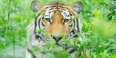 Neuer Tiger und Regeln im Tiergarten Schönbrunn