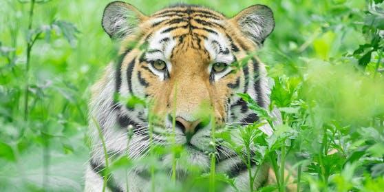 """Tiger """"Pepe"""" ist zwei Jahre alt."""