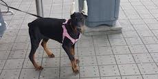 Junger Hund in Krems an Ohren und Schwanz verstümmelt