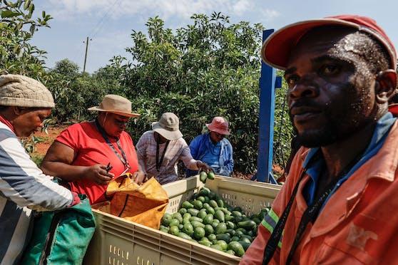 """In Südafrika hat die organisierte Kriminalität ein neues, lukratives Geschäftsfeld entdeckt: den Handel mit dem """"grünem Gold""""."""