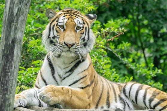 """Tiger """"Pepe"""" kommt aus Lissabon."""