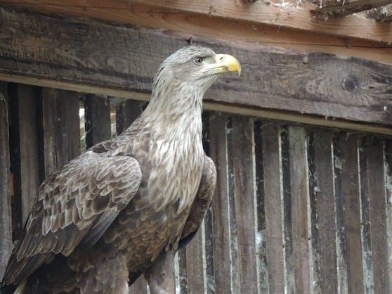 Der Seeadler erholt sich in der Eulen-und Greifvogelstation in Haringsee.