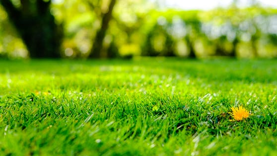 Die meisten Hobbygärtner träumen von einem vollen und sattgrünen Rasen.