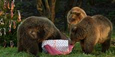 Zwei Braunbären bei Ausbruchsversuch aus Zoo getötet