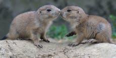 Hier geben sich Präriehunde-Babys ein Küsschen