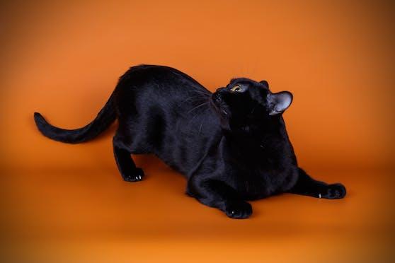 Bombay Katzen zählt zu den einzigen Rassekatzen die schwarz sein müssen