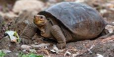 """""""Ausgestorbene"""" Riesenschildkröte entdeckt"""