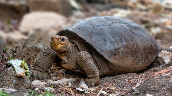 Die Schildkröte wurde bereits vor zwei Jahren entdeckt. Genanalysen zeigten, dass es sich um die Spezies Chelonoidis phantasticus handelt.