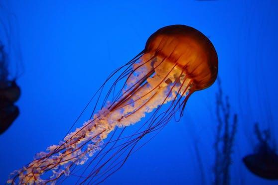 Quallen gehören zu den Nesseltieren und sind in allen Meeren der Welt zu Hause.