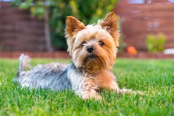 Yorkshire Terrier (Symbolbild)