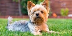 Hund von Steirer stirbt bei fieser Giftköder-Attacke