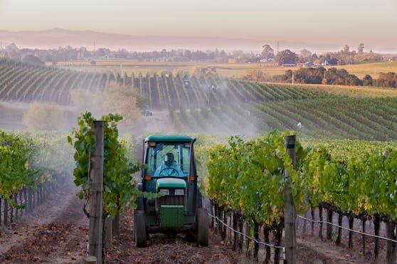 Mit einem Weingartentraktor werden auf einem Weinberg in den USA Spritzmittel ausgebracht.