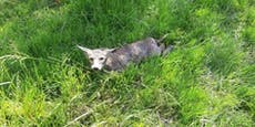 Verletzter Goldschakal im Bezirk Melk von Jäger erlegt