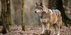 40 Wölfe in Österreich, aber kaum ein Herdenschutz